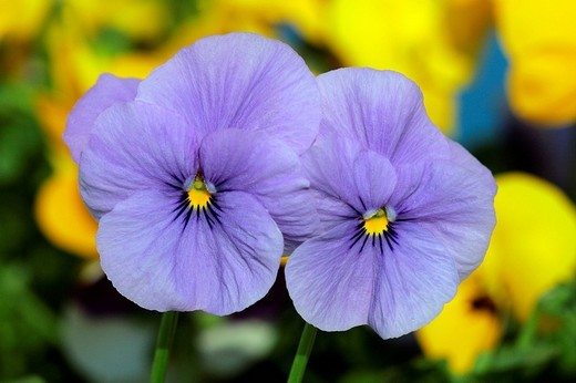 Flowering horned violets - hybrids in blue and yellow colours Viola cornuta : Stock Photo