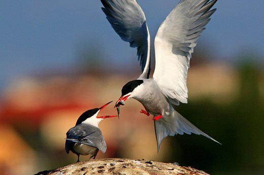 Stock Photo: 1848R-394282 Two Common Terns Sterna hirundo, courting behaviour handing over fish at Waren on the Mueritz, Mueritz Lake, Mueritz National Park, Mecklenburg Lake District, Mecklenburg-Western Pomerania, Germany, Europe
