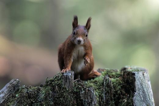 Stock Photo: 1848R-395098 Eurasian Red Squirrel Sciurus vulgaris, adult sitting on tree stump, portrait