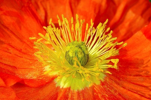 Poppy : Stock Photo