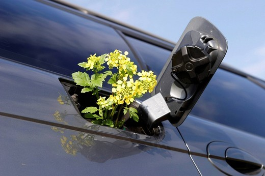 Stock Photo: 1848R-395719 Rape blossoms in the tank, rape oil for fuel