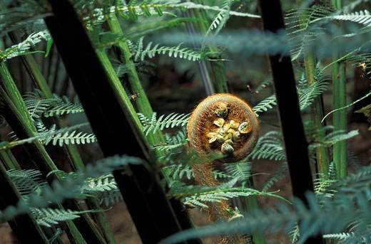 Stock Photo: 1848R-395757 Shoot of a Wood Fern Cyatheales