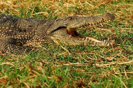 Nile crocodile, Crocodylus niloticus, Chobe River Botswana : Stock Photo