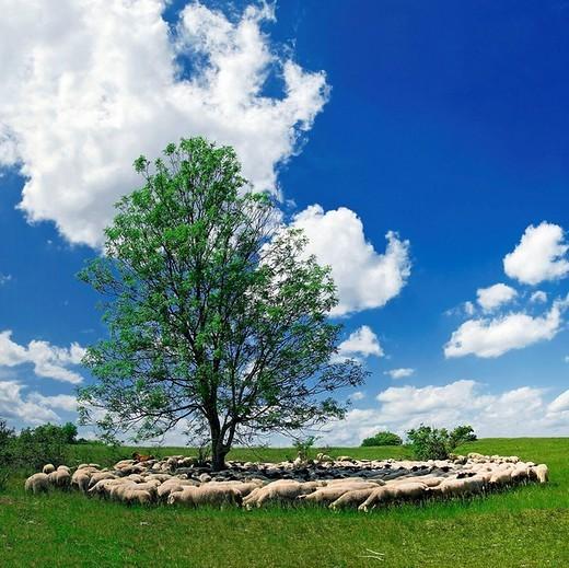 Stock Photo: 1848R-396142 Herd on sheep grazing around a tree near Eichstaett, Bavaria, Germany, Europe