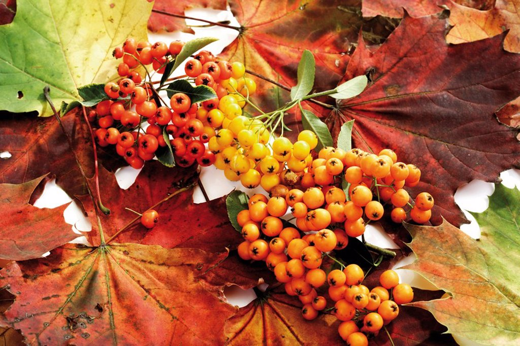 Firethorn berries Pyracantha with colourful autumn leaves : Stock Photo