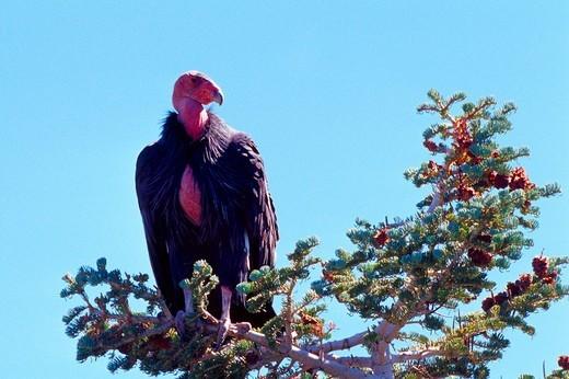 Stock Photo: 1848R-396278 California Condor Gymnogyps californianus Zion National Park, Utah, USA, North America