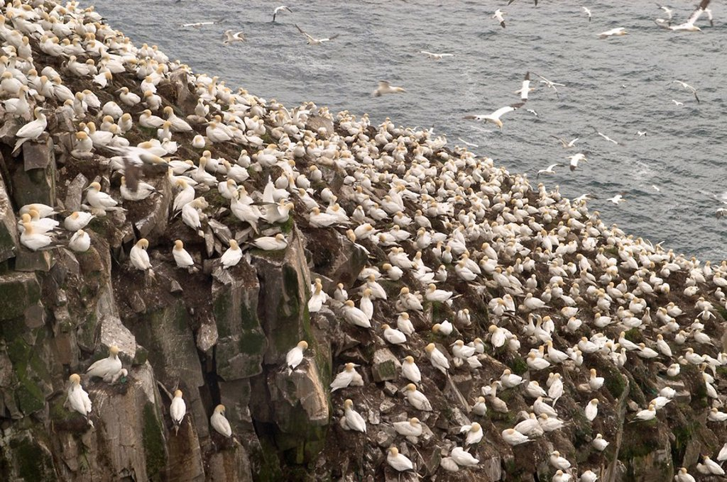 Stock Photo: 1848R-396771 Bird rock at Cape St. Mary´s ecological seabird reserve, Avalon Peninsula