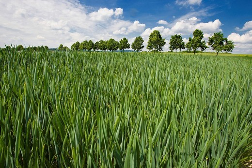 Young grain field in the spring, Germany, Europe : Stock Photo