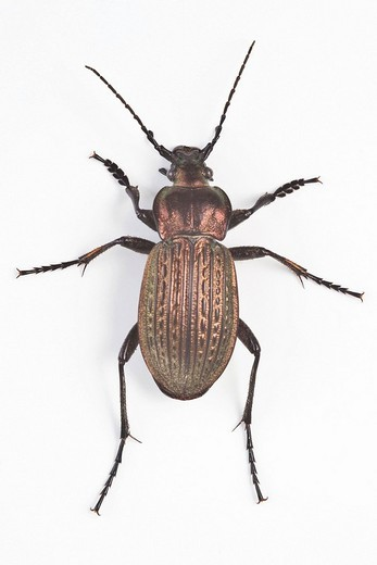 Necklace Ground Beetle Carabus monilis : Stock Photo