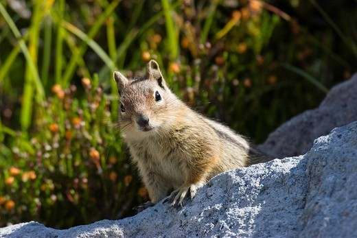Stock Photo: 1848R-398745 Golden_mantled Ground Squirrel Spermophilus lateralis, Mount Rainier Nationalpark, Washington, USA