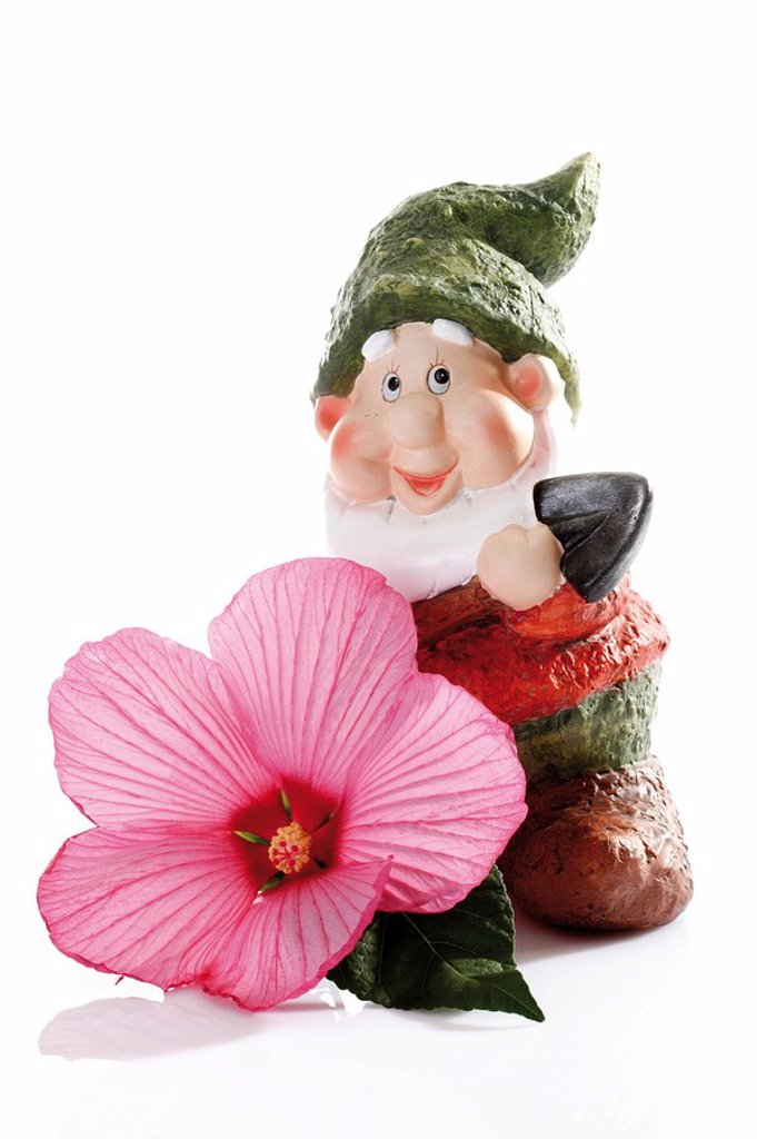 Rose mallow with garden gnome : Stock Photo