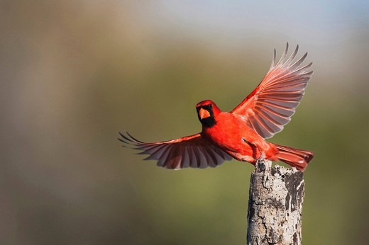 Northern Cardinal Cardinalis cardinalis, male taking off, Sinton, Corpus Christi, Coastal Bend, Texas, USA : Stock Photo