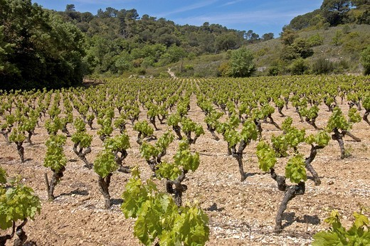 Stock Photo: 1848R-399788 Vineyards in Roussillon Southern France