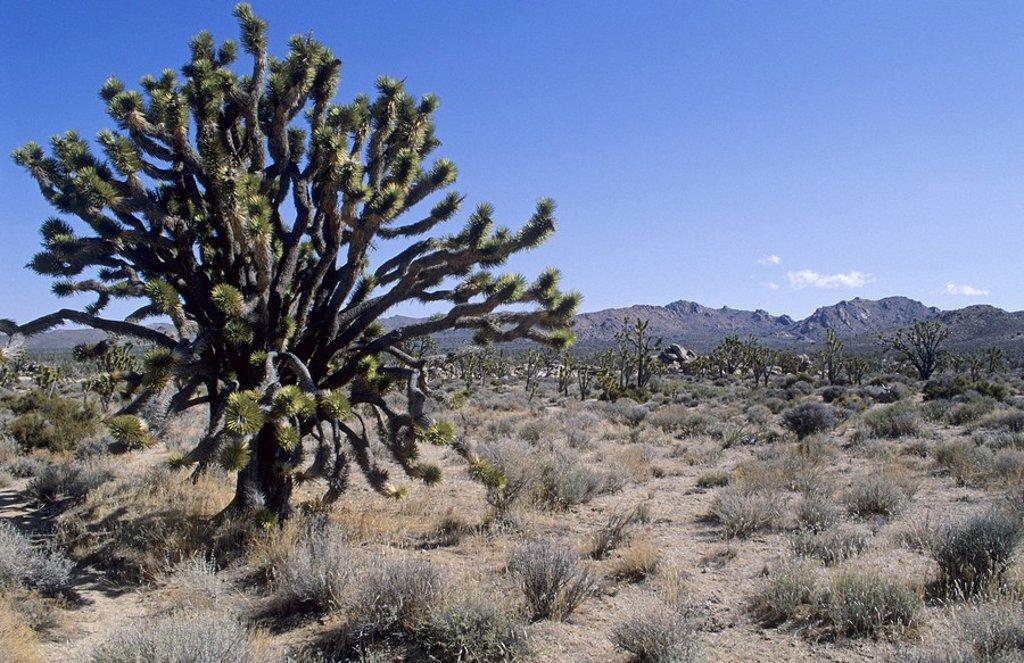 Joshua Tree at Mojave National Preserve, California, USA : Stock Photo
