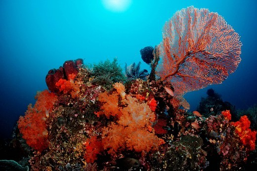 Colourful coral reef, Komodo, Indian Ocean, Indonesia, Southeast Asia, Asia : Stock Photo