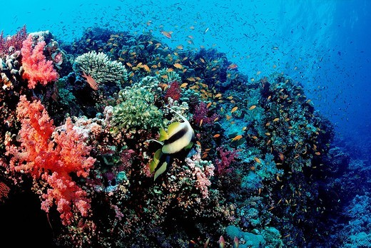 Colorful coral reef, Brother Islands, Red Sea, Egypt : Stock Photo