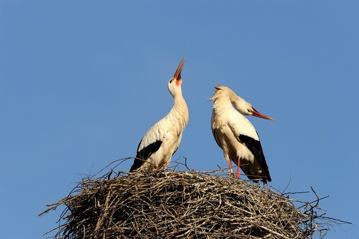 Stock Photo: 1848R-502721 White storks Ciconia ciconia, welcoming at the nest