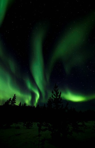 Stock Photo: 1848R-502916 Swirling Northern Lights, Polar Lights, silhouettes of pine trees, Aurora Borealis, green, near Whitehorse, Yukon Territory, Canada