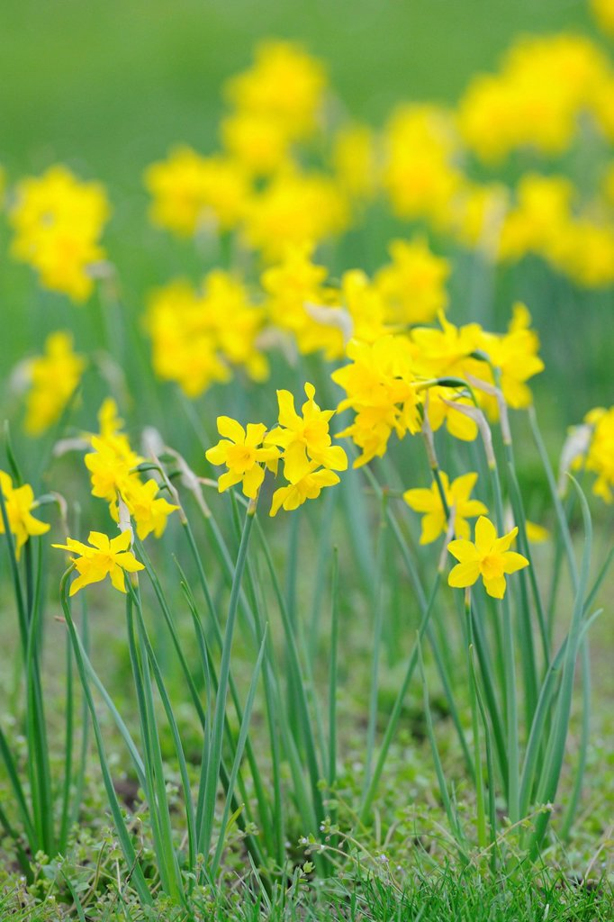 Stock Photo: 1848R-502962 Daffodils Narcissus