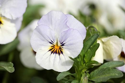 Garden pansy , Viola _ Viola x wittrockiana : Stock Photo
