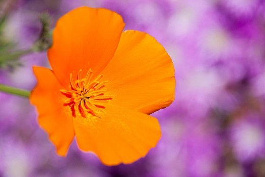 California Poppy Eschscholzia californica, California, USA : Stock Photo