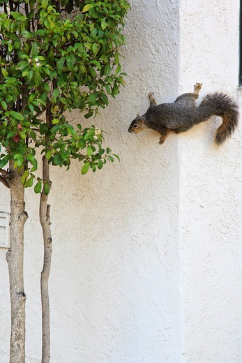 Squirrel on a wall about to leap : Stock Photo