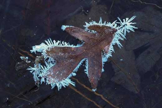 Stock Photo: 1848R-504741 Eastern Black oak Quercus velutina, leaf rimmed in frost on frozen pond, Lillington, North Carolina, USA