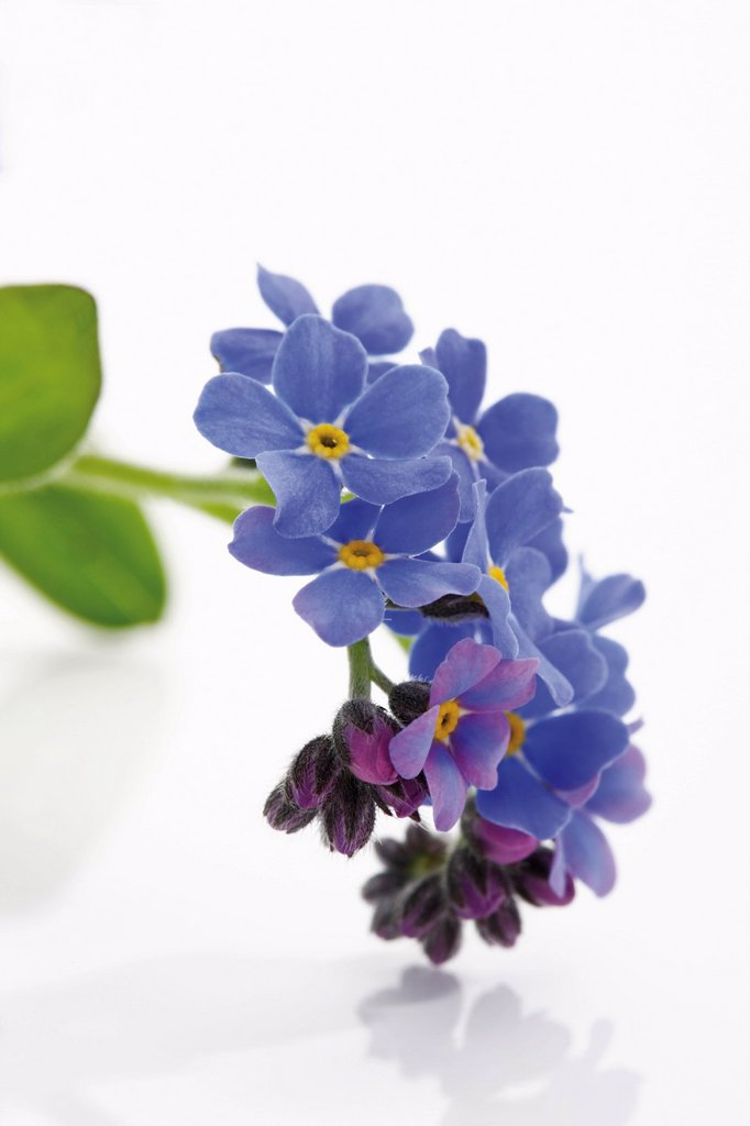 Stock Photo: 1848R-505043 Forget_Me_nots Myosotis