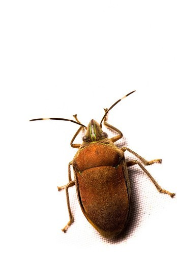 Beetle Coleoptera : Stock Photo