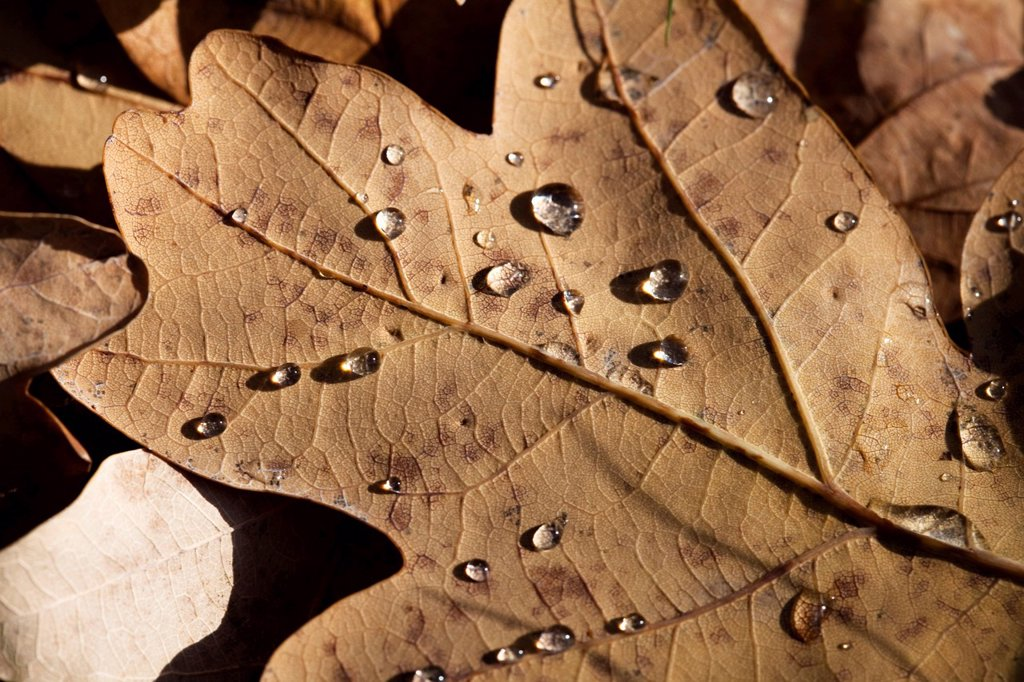 Oak leaf with dew drops : Stock Photo