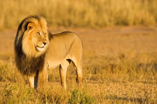 Lion Panthera leo, male, Pasha, Kgalagadi Transfrontier National Park, Gemsbok National Park, South Africa, Botswana, Africa : Stock Photo
