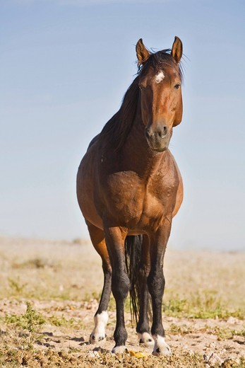 Wild horse, horse of the former German Schutztruppe protection troops in Namibia, Africa : Stock Photo
