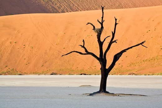 Dead trees in the Deadvlei on a dry clay pan, Namib desert, Namibia, Africa : Stock Photo