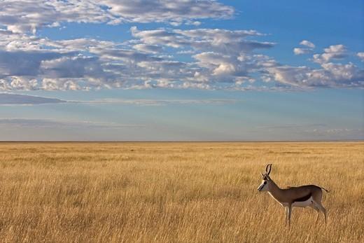 Stock Photo: 1848R-505997 Springbok Antidorcas marsupialis, antelope, Etosha National Park, Namibia, Africa