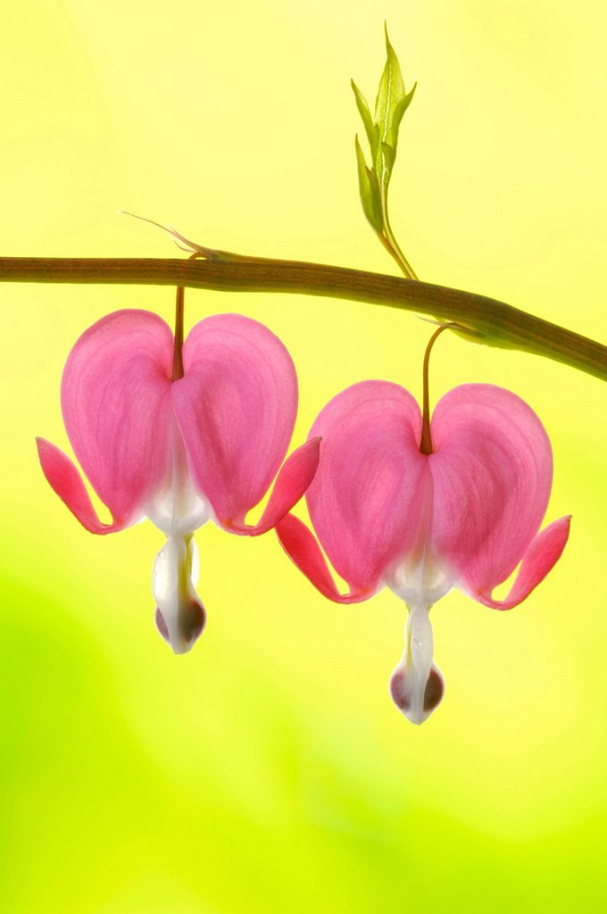 Stock Photo: 1848R-506035 Venus´s car, bleeding heart, Dutchman´s trousers, or lyre flower Dicentra spectabilis