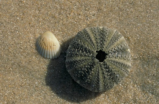 Urchin skeleton and shell, Gambia, Africa : Stock Photo