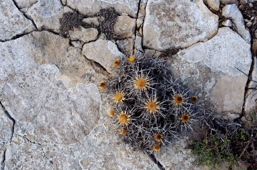 Withered thistle on rocks, Karpathos, Aegean Islands, Aegean Sea, Greece, Europe : Stock Photo