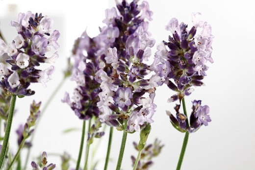 Lavender Lavandula : Stock Photo