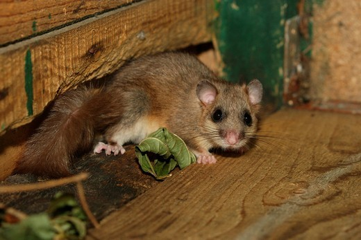 Dormouse Glis glis : Stock Photo