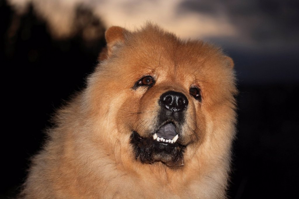 Chow Chow male dog, looking up, portrait : Stock Photo