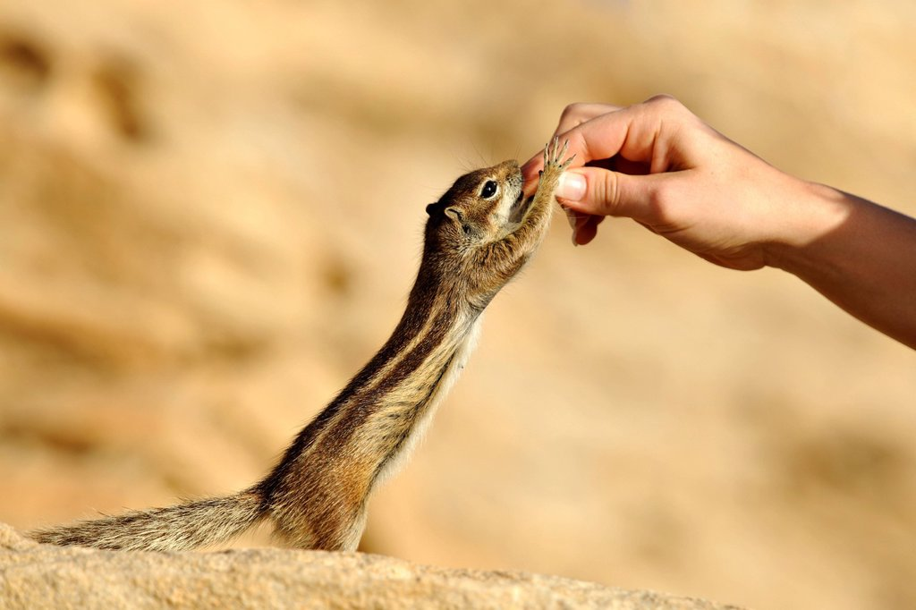 Barbary Ground Squirrel Atlantoxerus getulus, being fed by hand, Fuerteventura, Canary Islands, Spain, Europe : Stock Photo