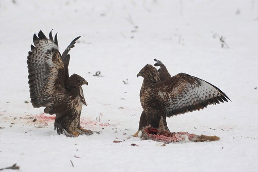 Common Buzzards Buteo buteo, fighting over a hare, winter, snow, Allgaeu, Bavaria, Germany, Europe : Stock Photo