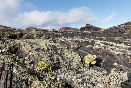Lava rocks with lichens and Aeonium, Lanzarote, Canary Islands, Spain, Europe : Stock Photo