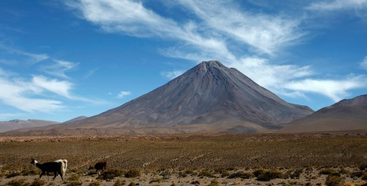 Volcano Licancabur and llamas, Atacama Desert, Chile, South America : Stock Photo