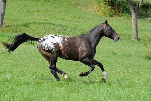 Appaloosa horse gallopping : Stock Photo