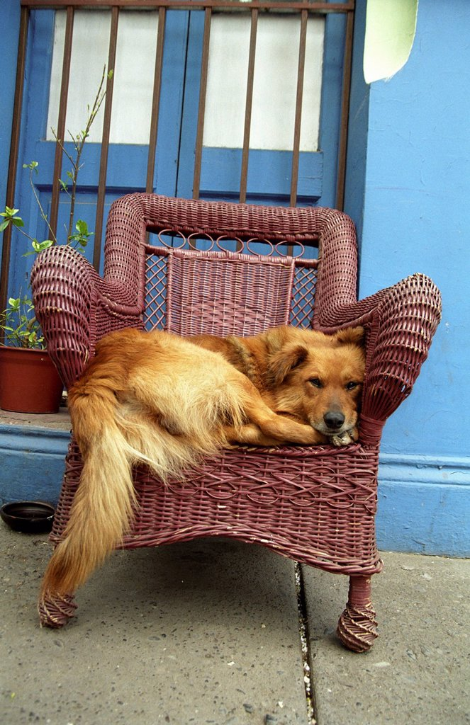 Stock Photo: 1848R-508644 Dog lying cozily, Santiago de Chile, Chile, South America