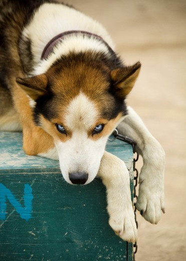 Stock Photo: 1848R-508660 Sleddog, Alaskan Husky resting on dog house, Yukon Territory, Canada