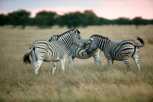 Burchell´s Zebra Equus quagga, Etosha National Park, Namibia, Africa : Stock Photo