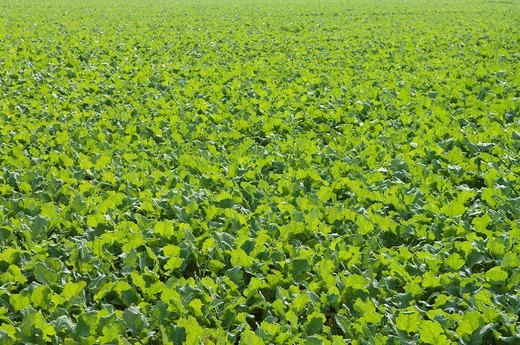 Winter oilseed rape, hibernating, frost_resistant green manure plant, enhances the biological activity of the soil : Stock Photo