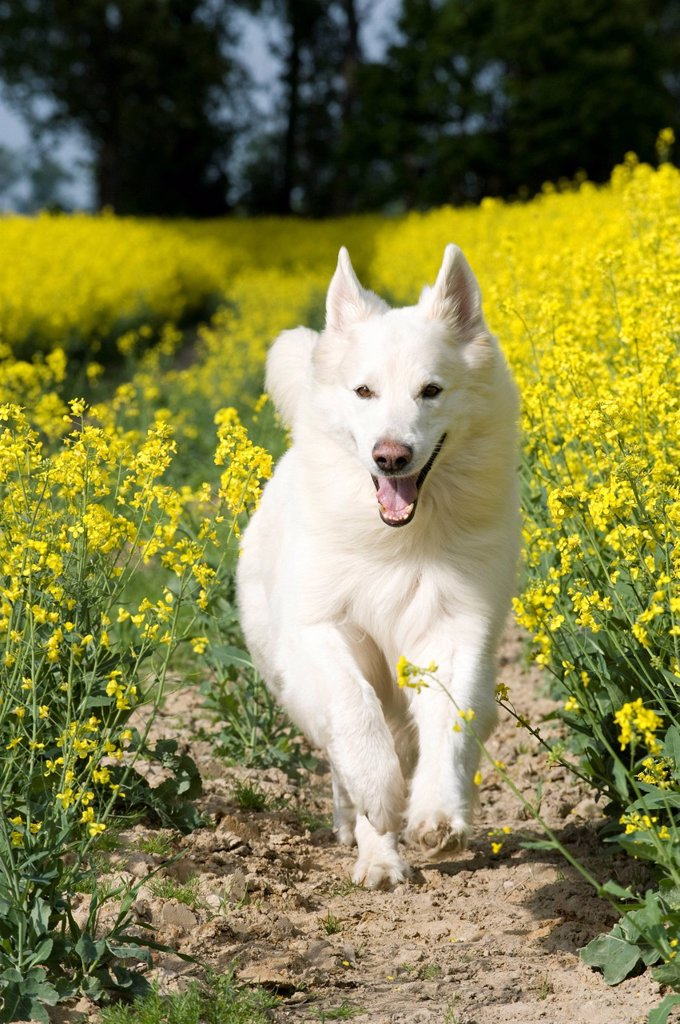 Stock Photo: 1848R-509468 White Shepherd in a canola field